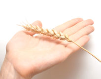 Ear wheat in hand female Royalty Free Stock Photo