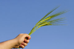 Ear of wheat handheld Royalty Free Stock Image