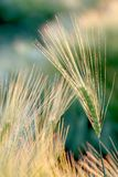Ear of wheat in the light of the rising sun. Detail of ear of wheat in the magic light of the rising sun, shot in summer season Royalty Free Stock Images