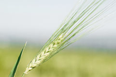 Ear of wheat macro in spring. Stock Photography