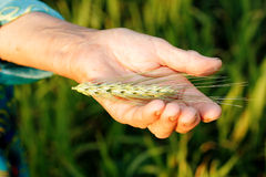 Ear wheat in old woman farmer hand Royalty Free Stock Images
