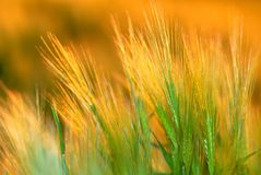 Ear wheat, orange Stock Photography