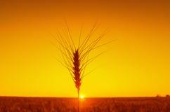 Ear of wheat on orange sunset Stock Photography