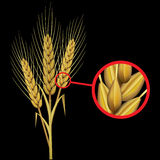 Ear of wheat. Presentation of the ear of wheat. Isolated on black background Stock Image