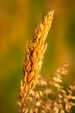 Ear Of Wheat. A rich ear of wheat pictured ripe and golden in the mid summer against a defocused background. Photographed in the farmland of Norfolk, England UK Stock Images