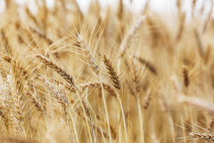 Ear of wheat Stock Photography