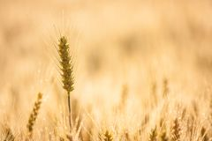 Ear of wheat Stock Image