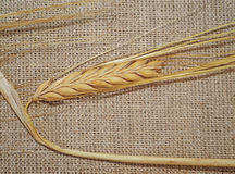 Ear of wheat on a rough fabric Stock Image