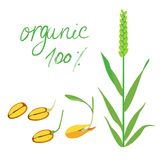 Ear of wheat and wheat sprouted grain in vector. Organic 100% illustration. Concept for organic products.  Stock Images