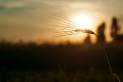 A ear of wheat at sunset. Royalty Free Stock Image