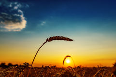 Ear of wheat and sunset Royalty Free Stock Image