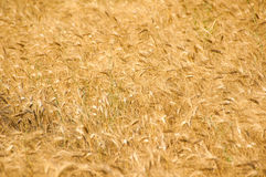 Ear of wheat. A view of a field entirely covered by ears of wheat Royalty Free Stock Photography
