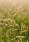 Ear of wheet in the field Stock Images
