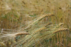 Ear young wheat in a field in summer Royalty Free Stock Photography
