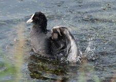 Earasion coot (Fulica atra) splashing water Stock Photo
