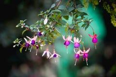 Eardrops fúcsia da flor ou da senhora na montanha de Angkhang, chiangma Imagens de Stock