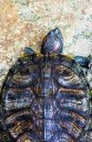eared красная черепаха слайдера Стоковое Изображение RF