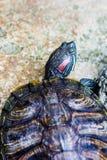 eared красная черепаха слайдера Стоковые Изображения