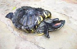 eared красная черепаха слайдера Стоковые Изображения RF