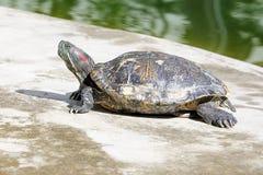 eared красная черепаха слайдера Стоковые Фото