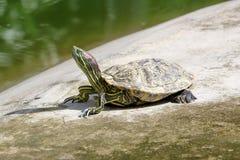 eared красная черепаха слайдера Стоковая Фотография