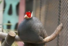 голубой eared фазан Стоковые Изображения