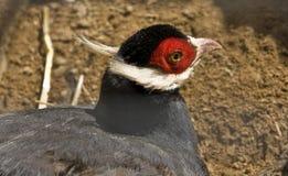 голубой eared фазан Стоковое Изображение