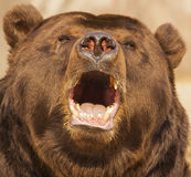 Eared bear. Growls opening his mouth Royalty Free Stock Image