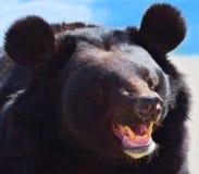 Eared bear Stock Image