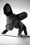 Eared Dog Stock Photo