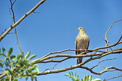 Eared dove, a Brazilian  little turtledove Royalty Free Stock Photo