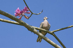 Eared dove, a Brazilian  little turtledove Royalty Free Stock Images