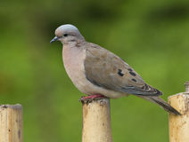 Eared Dove, Zenaida auriculata Stock Photos
