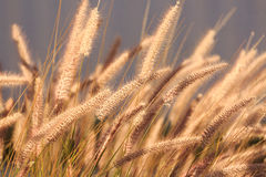 Eared fluffy grass at sunlit Stock Image