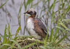 Eared Grebe Royalty Free Stock Images