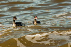 Eared Grebe Stock Photos
