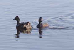 Eared Grebe with Babies Stock Photo