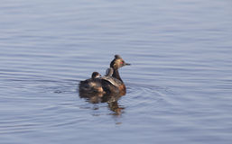 Eared Grebe with Babies Stock Image
