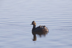 Eared Grebe with Babies Royalty Free Stock Images