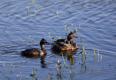 Eared Grebe with Babies Stock Images