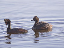 Eared Grebe with Babies Stock Photography