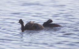Eared Grebe with Babies Royalty Free Stock Photo