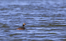 Eared Grebe Bird Swimming On Blue Lake Stock Images