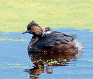 Eared Grebe and chick Stock Photo