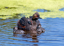 Eared Grebe and chicks Stock Image
