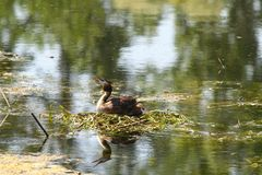 Eared grebe in its nest Royalty Free Stock Photo