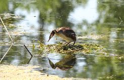 Eared grebe in its nest Stock Photography