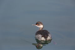 Eared Grebe Royalty Free Stock Photography