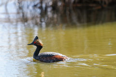 Eared Grebe (Podiceps nigricollis) Stock Photography