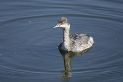 Eared Grebe swimming. An Eared Grebe swimming and feeding as he goes Royalty Free Stock Photo